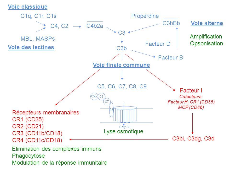Voie classique C1q, C1r, C1s MBL, MASPs Voie des lectines C4, C2 C4b2a C3 Properdine C3bBbVoie alterne Facteur D Facteur B C3b Voie finale commune C5,