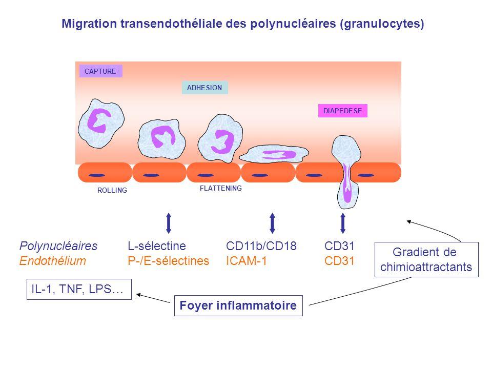 DIAPEDESE ROLLING ADHESION FLATTENING CAPTURE Migration transendothéliale des polynucléaires (granulocytes) Polynucléaires L-sélectine CD11b/CD18 CD31