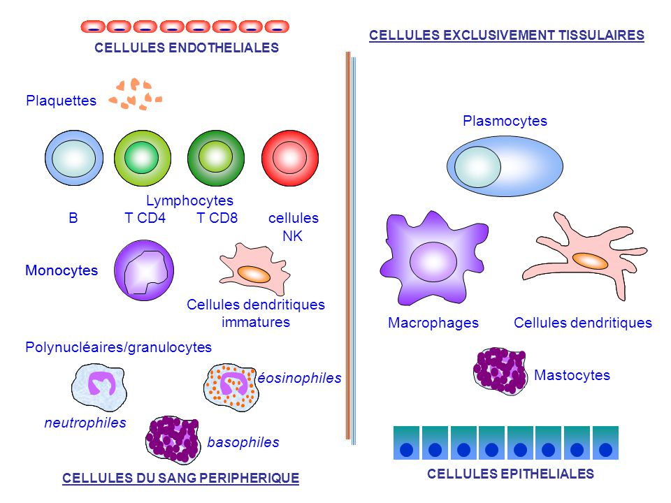 CELLULES ENDOTHELIALES CELLULES DU SANG PERIPHERIQUE CELLULES EXCLUSIVEMENT TISSULAIRES CELLULES EPITHELIALES Lymphocytes B T CD4 T CD8 cellules NK Plaquettes Monocytes Polynucléaires/granulocytes Monocytes neutrophiles éosinophiles basophiles Plasmocytes Cellules dendritiques Mastocytes Macrophages Cellules dendritiques immatures