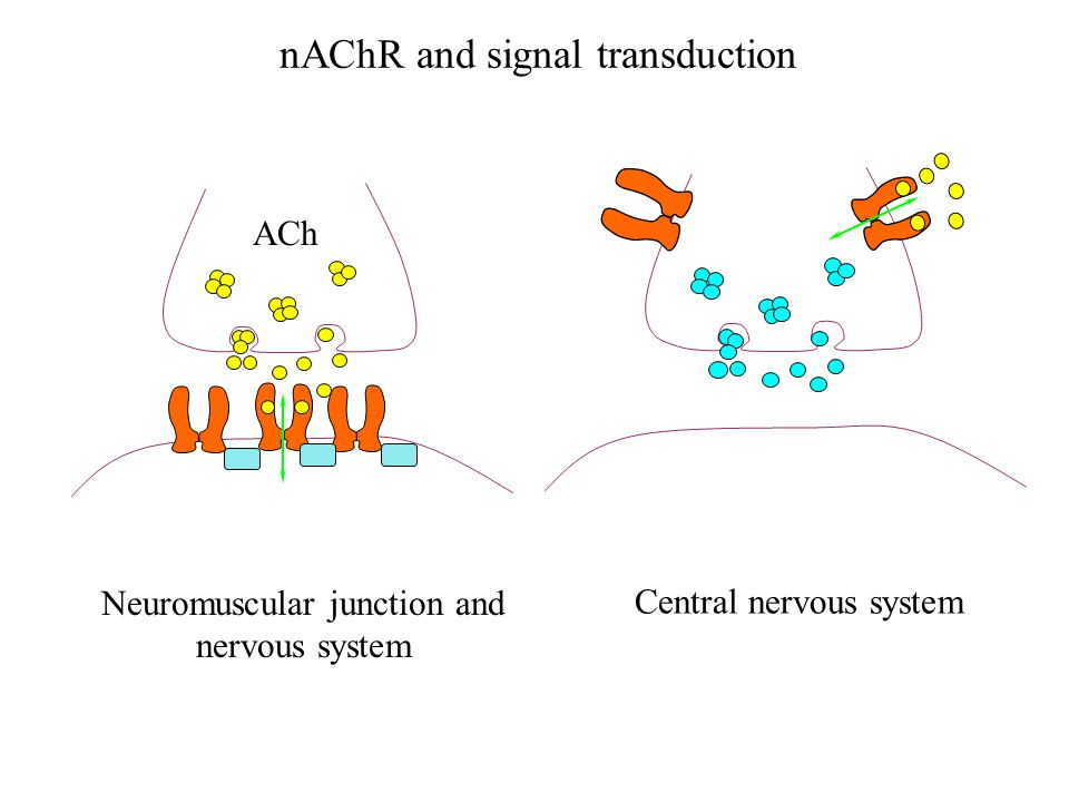 nAChR and signal transduction Neuromuscular junction and nervous system Central nervous system ACh