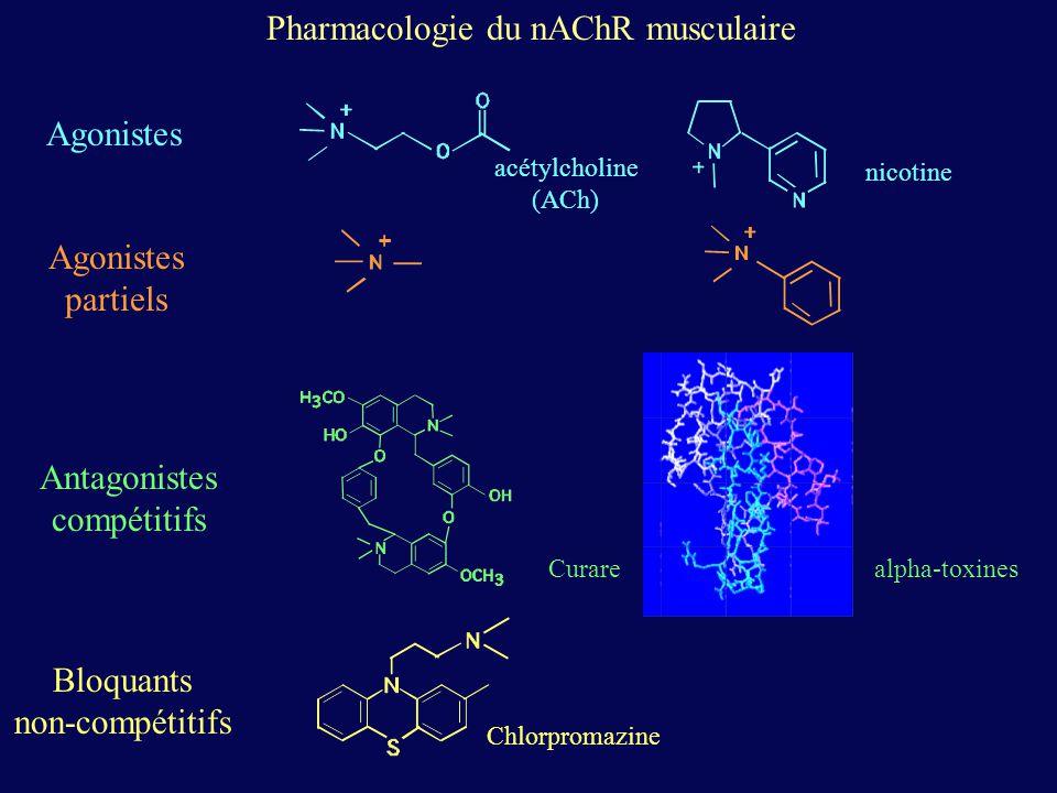 Agonistes partiels Antagonistes compétitifs Bloquants non-compétitifs acétylcholine (ACh) Curare Chlorpromazine nicotine Pharmacologie du nAChR muscul