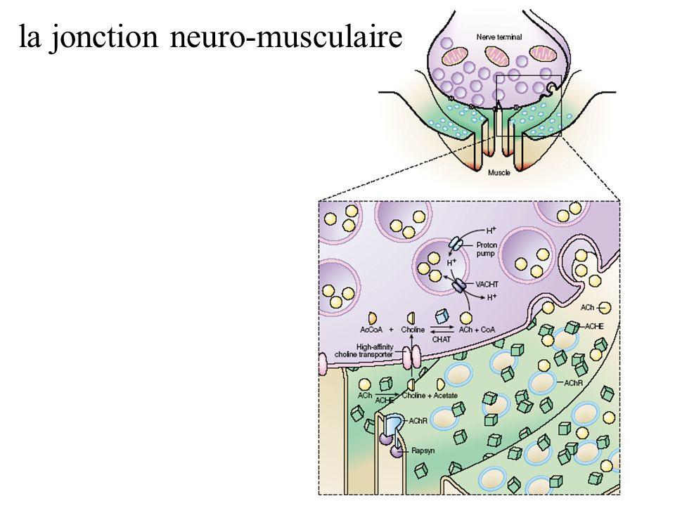 la jonction neuro-musculaire