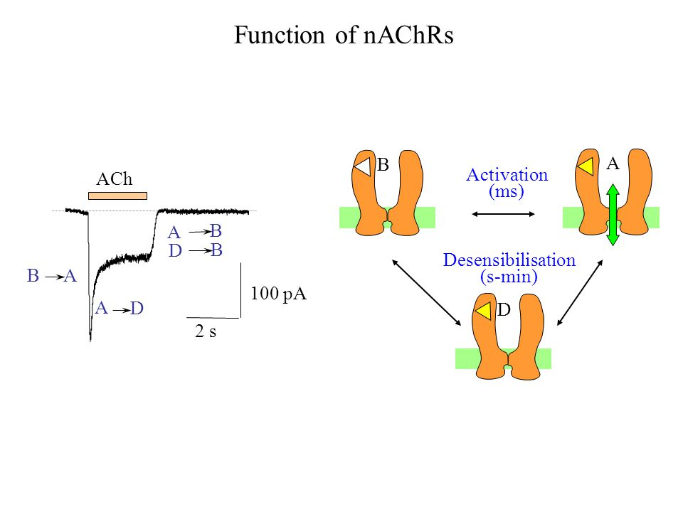 S S Activation (ms) Desensibilisation (s-min) B A D ACh 100 pA 2 s B A A D A B D B Function of nAChRs