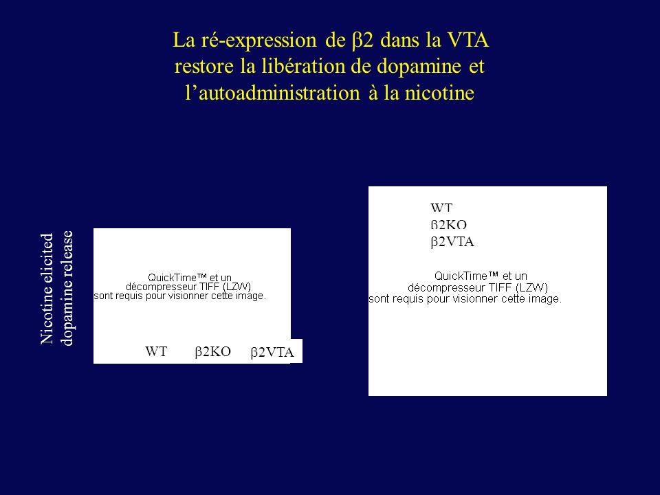 Nicotine elicited dopamine release WT 2KO 2VTA WT 2KO 2VTA La ré-expression de 2 dans la VTA restore la libération de dopamine et lautoadministration