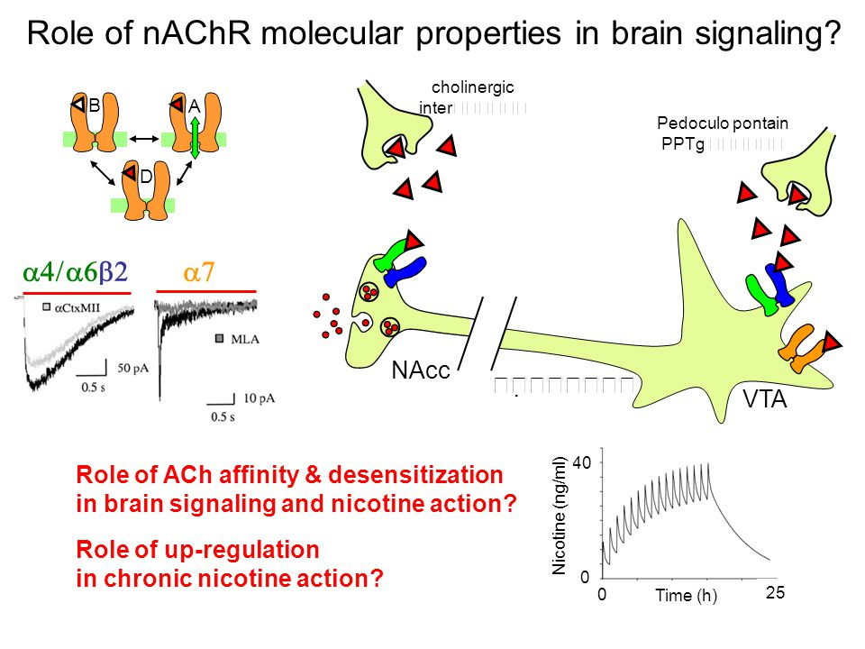 Role of nAChR molecular properties in brain signaling.
