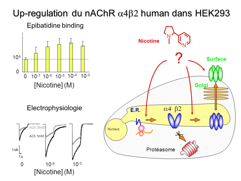 E.R. Protéasome Golgi Surface Nucleus Up-regulation du nAChR human dans HEK293 Epibatidine binding 0 10 4 010 -7 10 -6 10 -5 10 -4 10 -3 [Nicotine] (M
