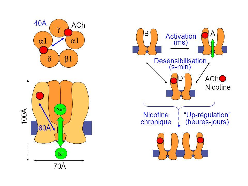 ACh Nicotine S S Activation (ms) Desensibilisation (s-min) B A D Up-régulation (heures-jours) Nicotine chronique Na + K+K+ 60Å ACh 40Å 70Å 100Å