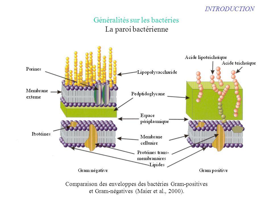INTRODUCTION Comparaison des enveloppes des bactéries Gram-positives et Gram-négatives (Maier et al., 2000). Généralités sur les bactéries La paroi ba