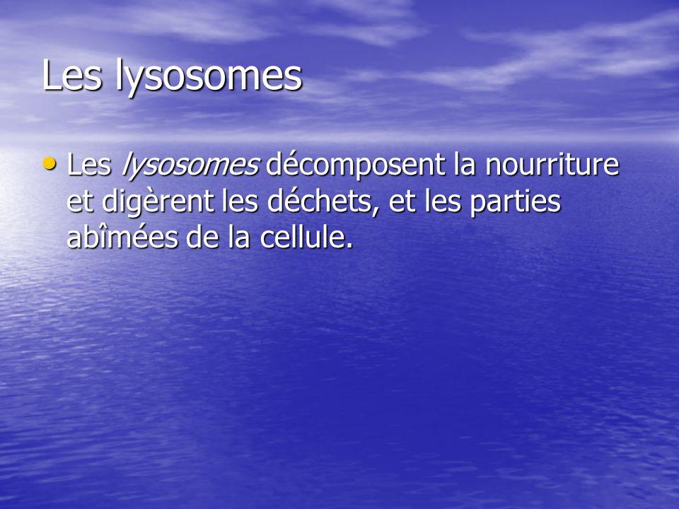 Les lysosomes Les lysosomes décomposent la nourriture et digèrent les déchets, et les parties abîmées de la cellule. Les lysosomes décomposent la nour