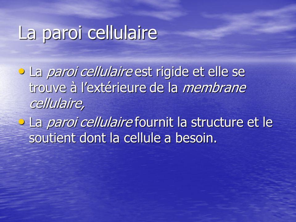 La paroi cellulaire La paroi cellulaire est rigide et elle se trouve à lextérieure de la membrane cellulaire, La paroi cellulaire est rigide et elle s