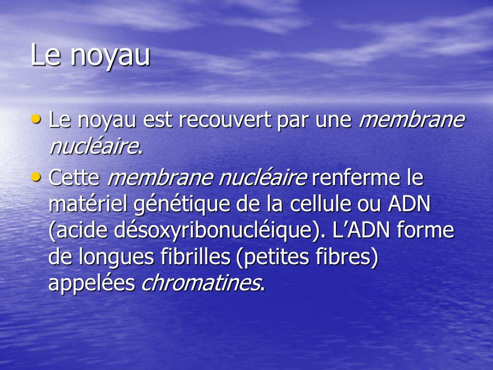 Le noyau Le noyau est recouvert par une membrane nucléaire. Le noyau est recouvert par une membrane nucléaire. Cette membrane nucléaire renferme le ma