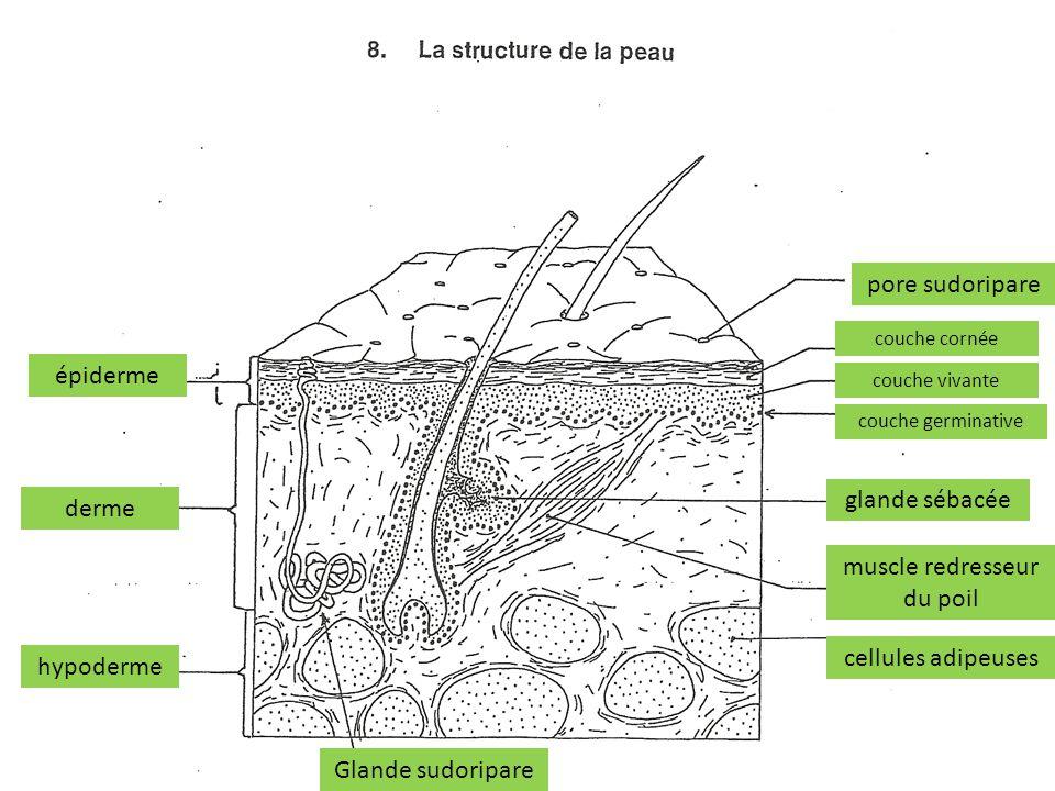 épiderme derme hypoderme pore sudoripare couche cornée couche vivante couche germinative glande sébacée muscle redresseur du poil cellules adipeuses G