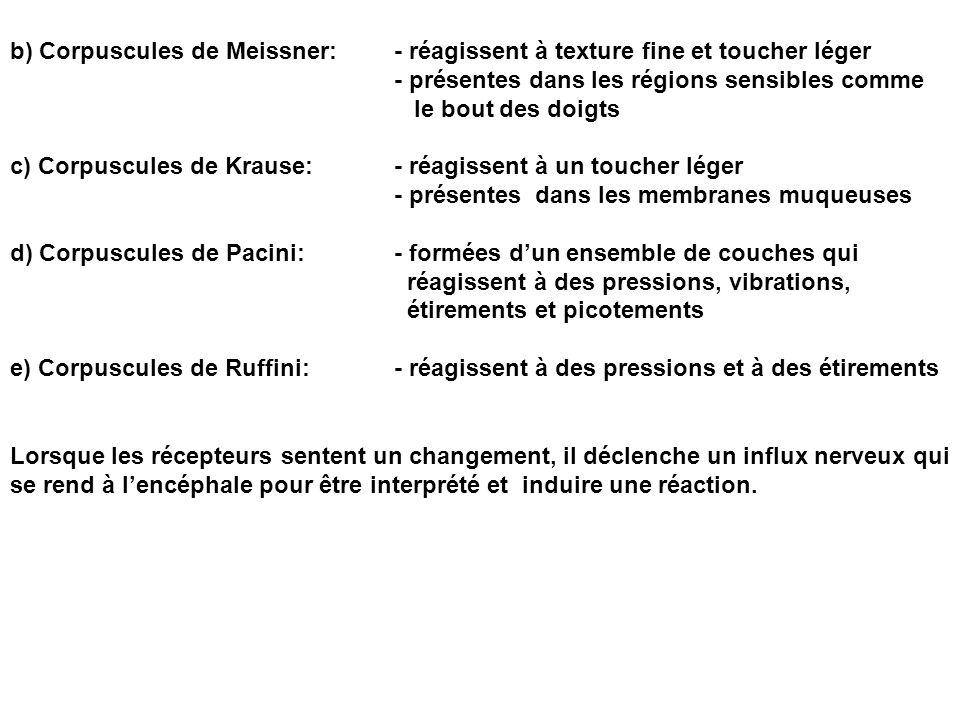 b) Corpuscules de Meissner: - réagissent à texture fine et toucher léger - présentes dans les régions sensibles comme le bout des doigts c) Corpuscules de Krause:- réagissent à un toucher léger - présentes dans les membranes muqueuses d) Corpuscules de Pacini:- formées dun ensemble de couches qui réagissent à des pressions, vibrations, étirements et picotements e) Corpuscules de Ruffini:- réagissent à des pressions et à des étirements Lorsque les récepteurs sentent un changement, il déclenche un influx nerveux qui se rend à lencéphale pour être interprété et induire une réaction.