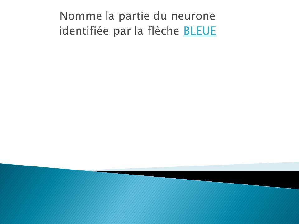 Nomme la partie du neurone identifiée par la flèche BLEUE
