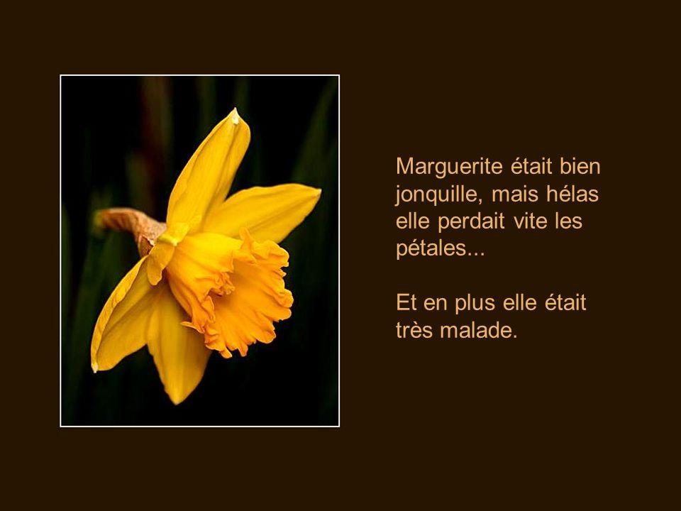 Marguerite était bien jonquille, mais hélas elle perdait vite les pétales...