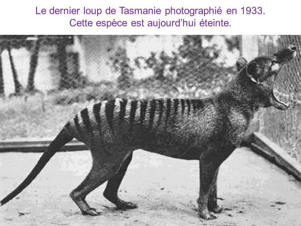 Le dernier loup de Tasmanie photographié en 1933. Cette espèce est aujourdhui éteinte.