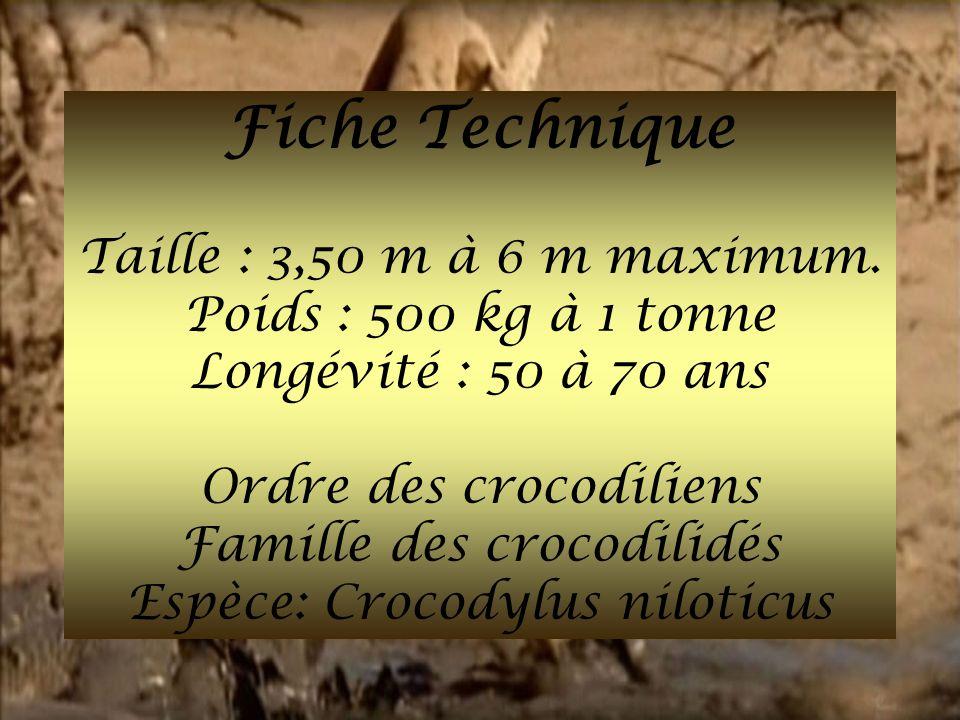 Fiche Technique Taille : 3,50 m à 6 m maximum. Poids : 500 kg à 1 tonne Longévité : 50 à 70 ans Ordre des crocodiliens Famille des crocodilidés Espèce