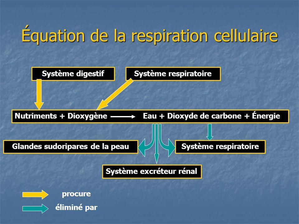 Équation de la respiration cellulaire Système digestifSystème respiratoire Nutriments + Dioxygène Eau + Dioxyde de carbone + Énergie Système respiratoireGlandes sudoripares de la peau Système excréteur rénal procure éliminé par