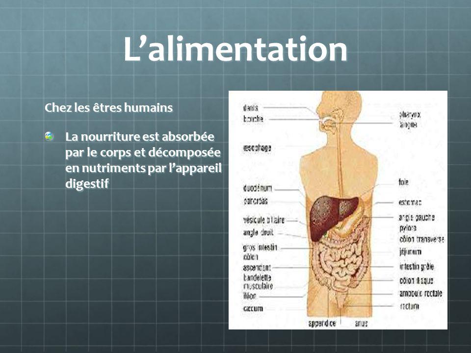 Lalimentation Chez les êtres humains La nourriture est absorbée par le corps et décomposée en nutriments par lappareil digestif