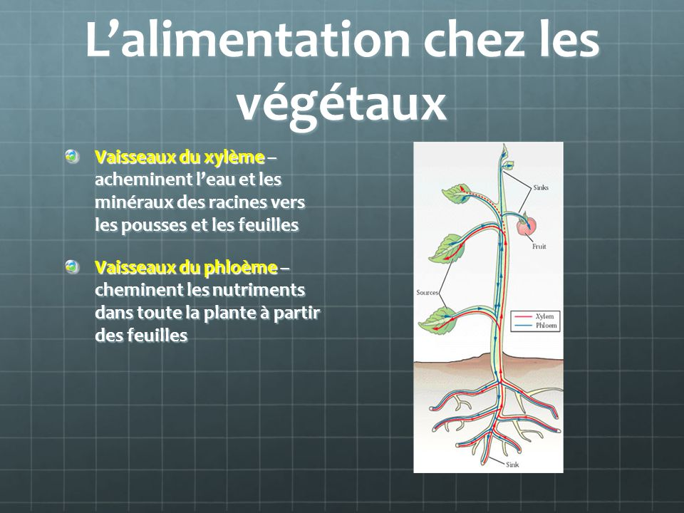 Lalimentation chez les végétaux Vaisseaux du xylème – acheminent leau et les minéraux des racines vers les pousses et les feuilles Vaisseaux du phloèm