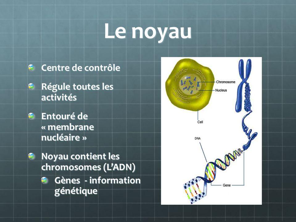Le noyau Centre de contrôle Régule toutes les activités Entouré de « membrane nucléaire » Noyau contient les chromosomes (LADN) Gènes - information gé