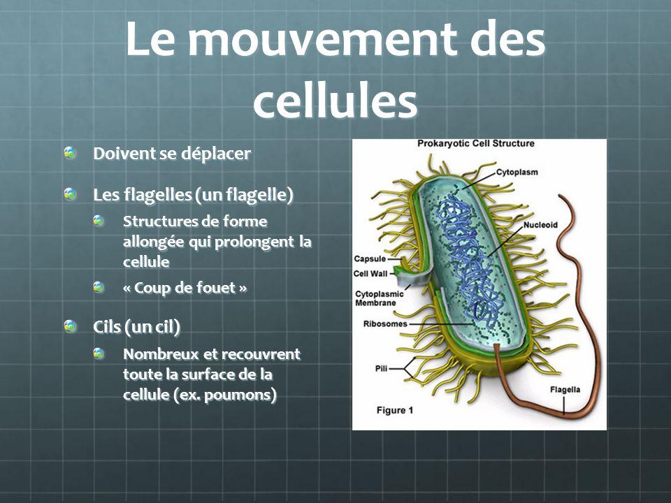 Le mouvement des cellules Doivent se déplacer Les flagelles (un flagelle) Structures de forme allongée qui prolongent la cellule « Coup de fouet » Cils (un cil) Nombreux et recouvrent toute la surface de la cellule (ex.