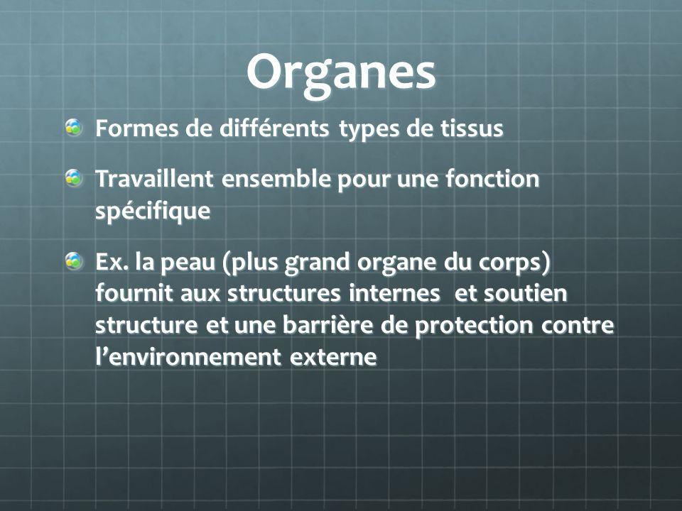 Organes Formes de différents types de tissus Travaillent ensemble pour une fonction spécifique Ex. la peau (plus grand organe du corps) fournit aux st