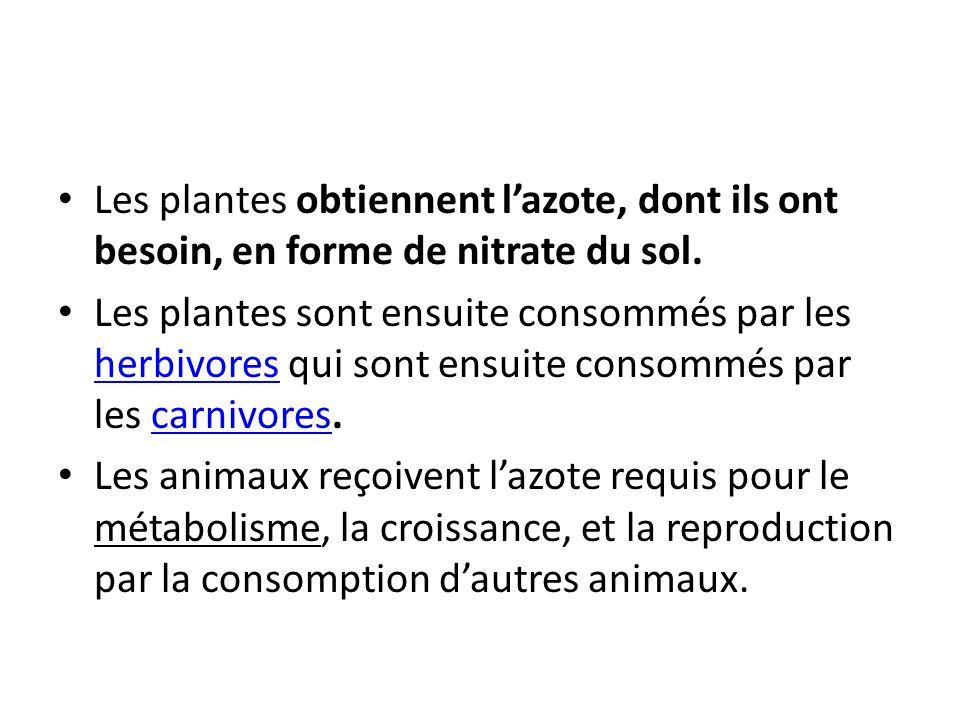 Les plantes obtiennent lazote, dont ils ont besoin, en forme de nitrate du sol. Les plantes sont ensuite consommés par les herbivores qui sont ensuite
