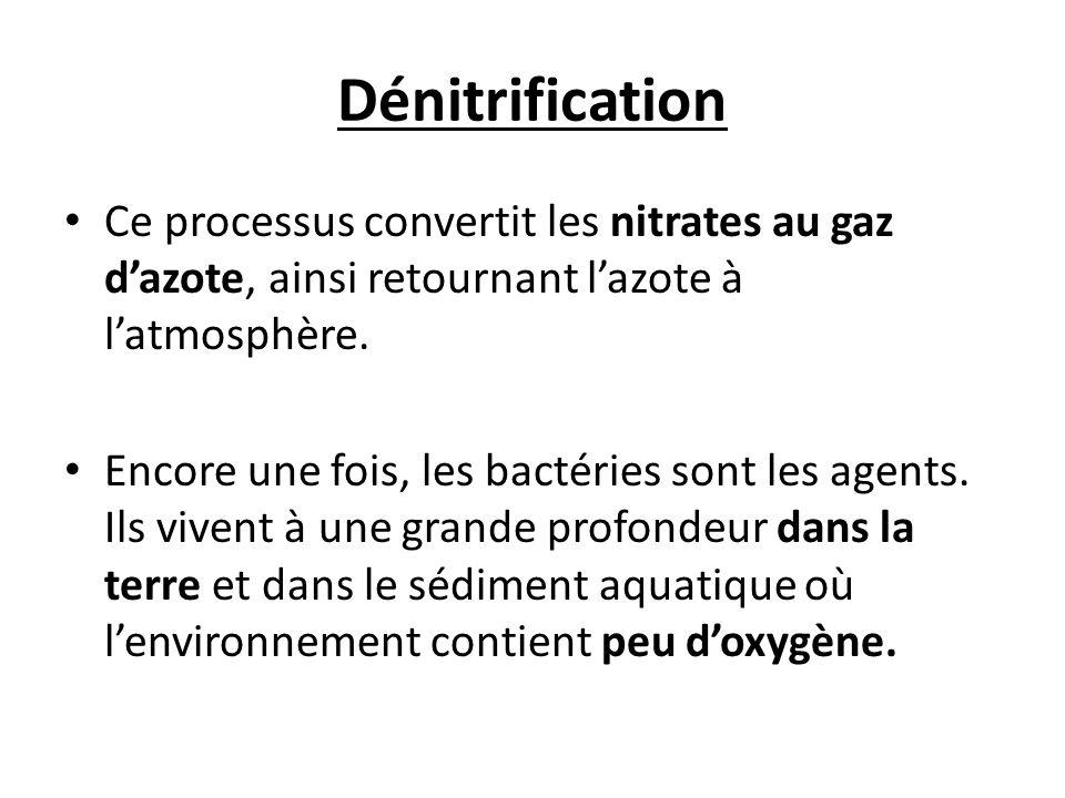 Dénitrification Ce processus convertit les nitrates au gaz dazote, ainsi retournant lazote à latmosphère. Encore une fois, les bactéries sont les agen