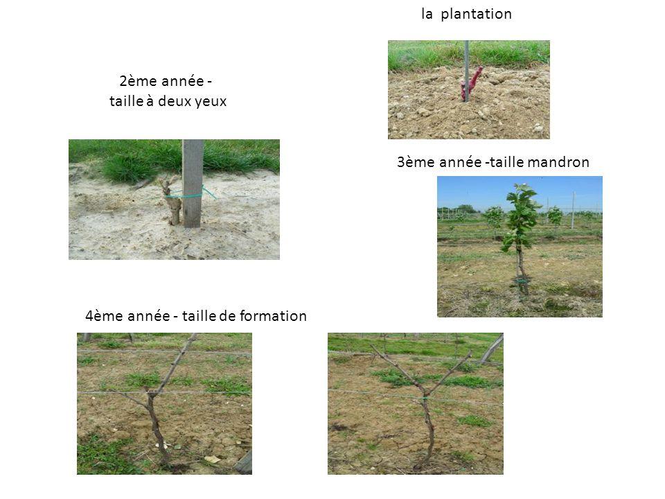 la plantation 2ème année - taille à deux yeux 3ème année -taille mandron 4ème année - taille de formation