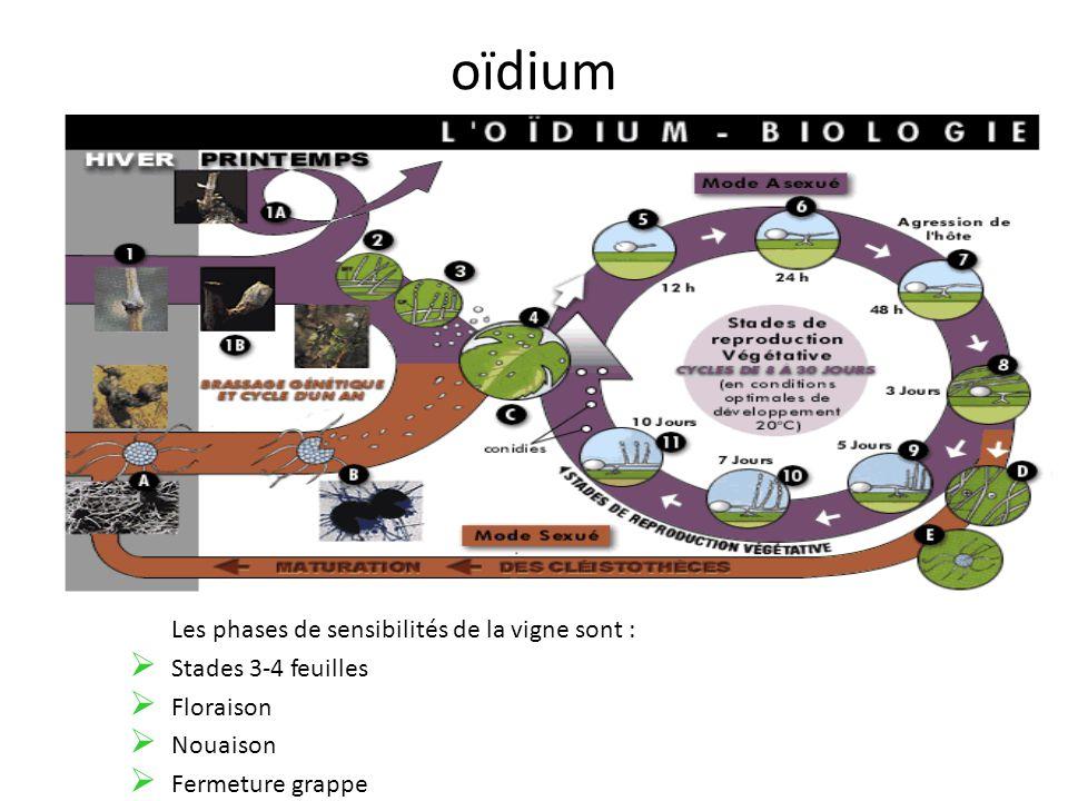 oïdium Les phases de sensibilités de la vigne sont : Stades 3-4 feuilles Floraison Nouaison Fermeture grappe