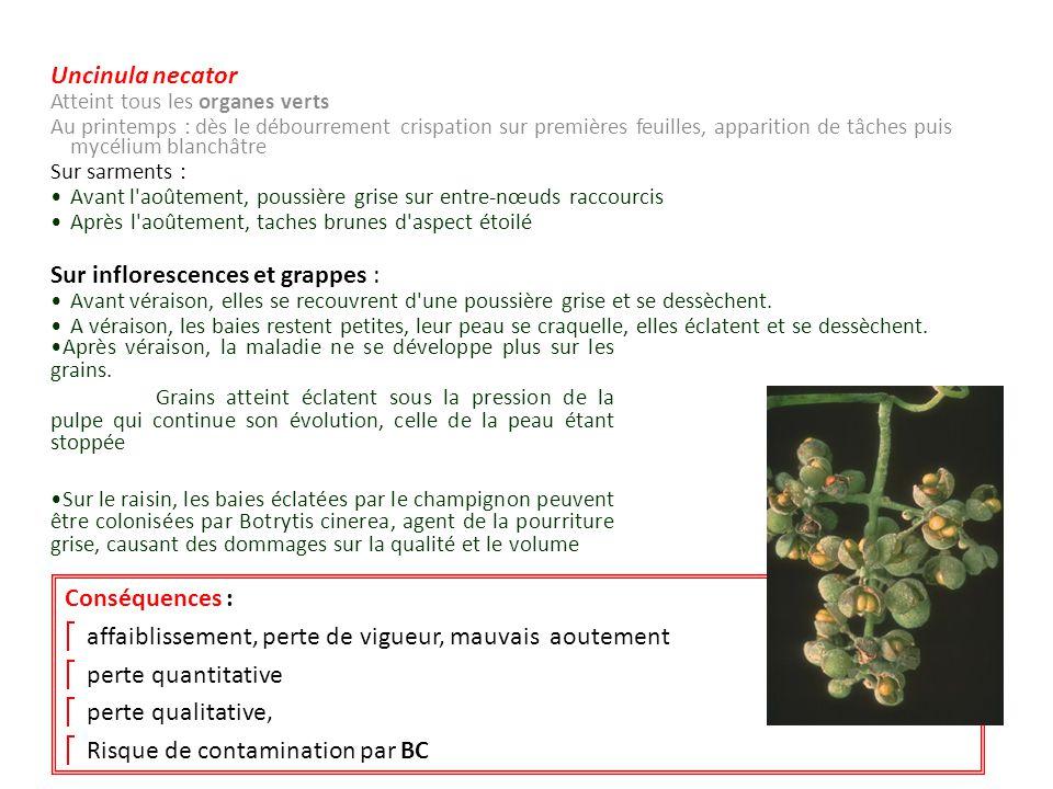 Uncinula necator Atteint tous les organes verts Au printemps : dès le débourrement crispation sur premières feuilles, apparition de tâches puis mycéli