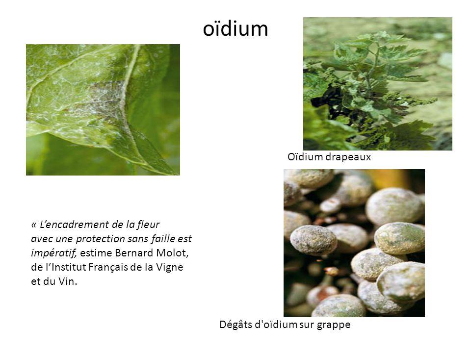 oïdium Dégâts d'oïdium sur grappe « Lencadrement de la fleur avec une protection sans faille est impératif, estime Bernard Molot, de lInstitut Françai