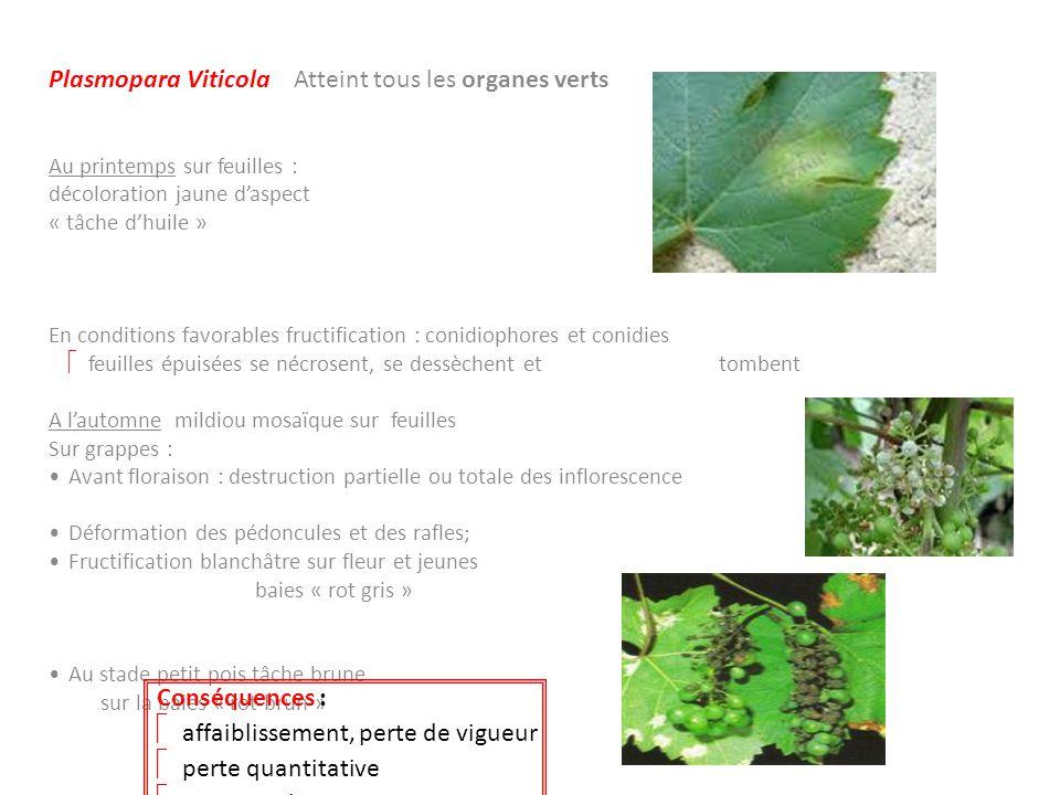 Plasmopara Viticola Atteint tous les organes verts Au printemps sur feuilles : décoloration jaune daspect « tâche dhuile » En conditions favorables fr