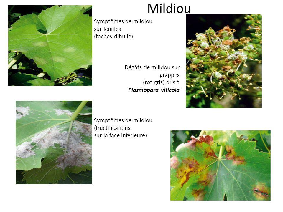Mildiou Symptômes de mildiou (fructifications sur la face inférieure) Dégâts de milidou sur grappes (rot gris) dus à Plasmopara viticola Symptômes de