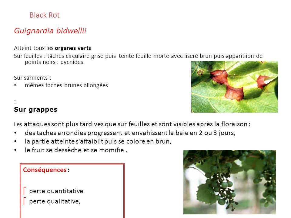 Black Rot Guignardia bidwellii Atteint tous les organes verts Sur feuilles : tâches circulaire grise puis teinte feuille morte avec liseré brun puis a