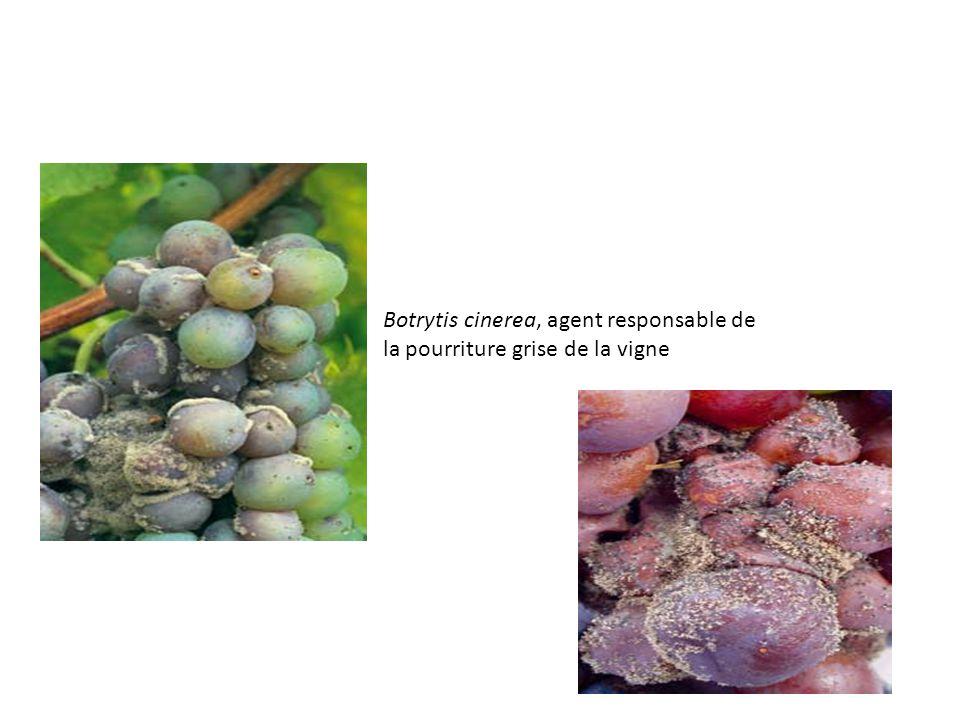 Botrytis cinerea, agent responsable de la pourriture grise de la vigne