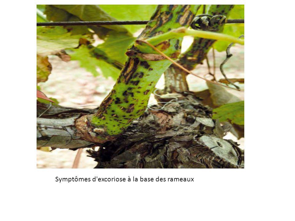 Symptômes d'excoriose à la base des rameaux