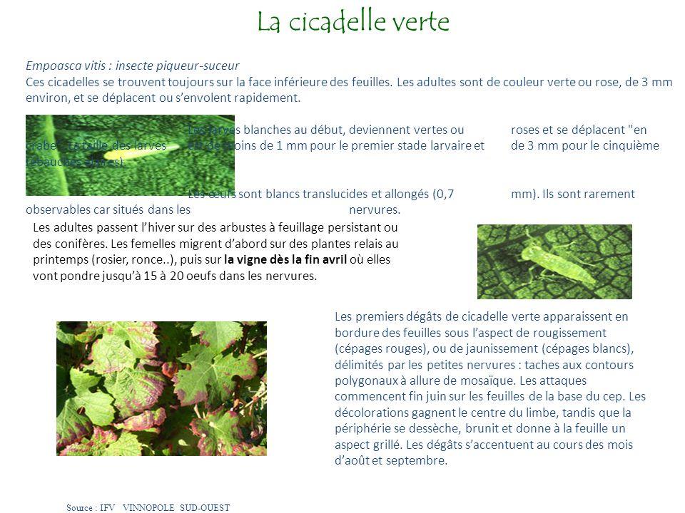 La cicadelle verte Empoasca vitis : insecte piqueur-suceur Ces cicadelles se trouvent toujours sur la face inférieure des feuilles. Les adultes sont d