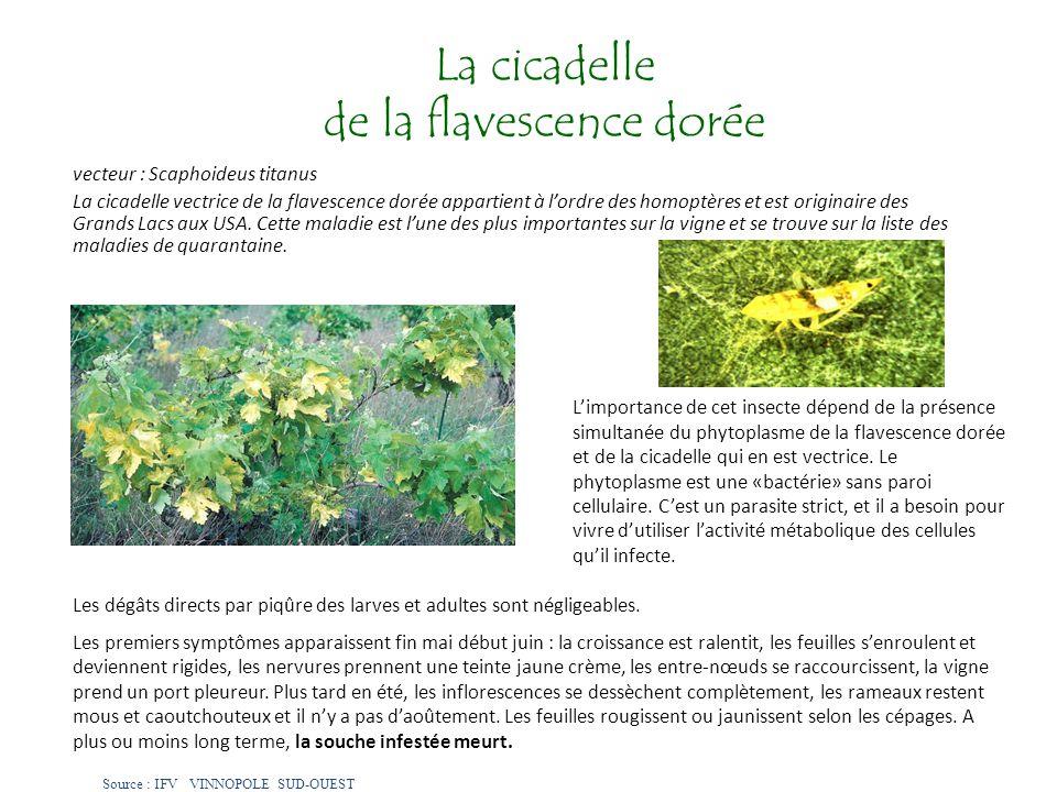 La cicadelle de la flavescence dorée vecteur : Scaphoideus titanus La cicadelle vectrice de la flavescence dorée appartient à lordre des homoptères et