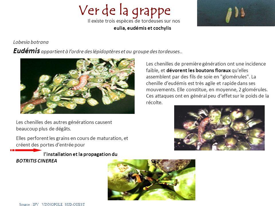 Il existe trois espèces de tordeuses sur nos vignes : eulia, eudémis et cochylis Lobesia botrana Eudémis appartient à lordre des lépidoptères et au gr