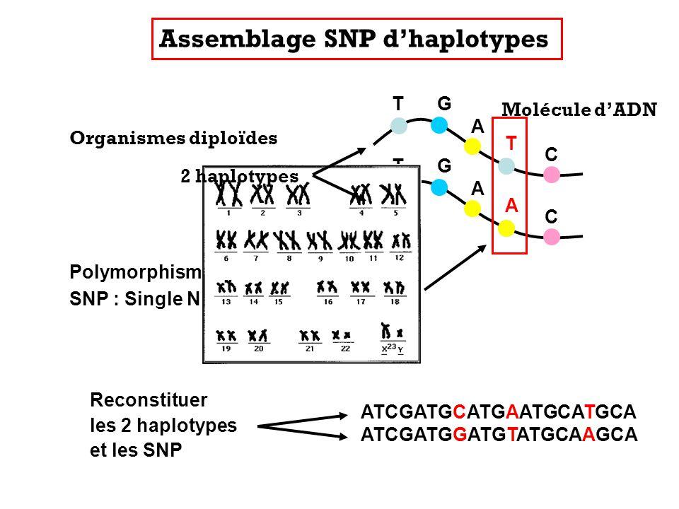 T T C A G T T C A G Polymorphisme génétique SNP : Single Nucleotide Polymorphism Reconstituer les 2 haplotypes et les SNP ATCGATGCATGAATGCATGCA ATCGAT