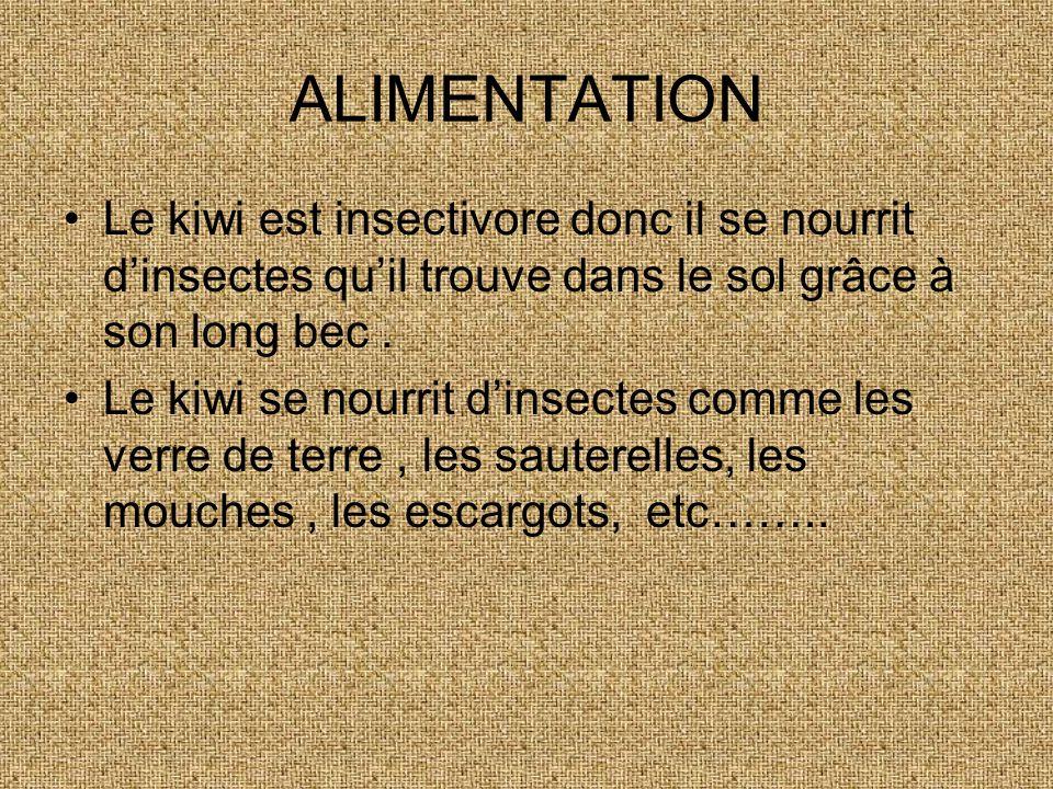 ALIMENTATION Le kiwi est insectivore donc il se nourrit dinsectes quil trouve dans le sol grâce à son long bec.