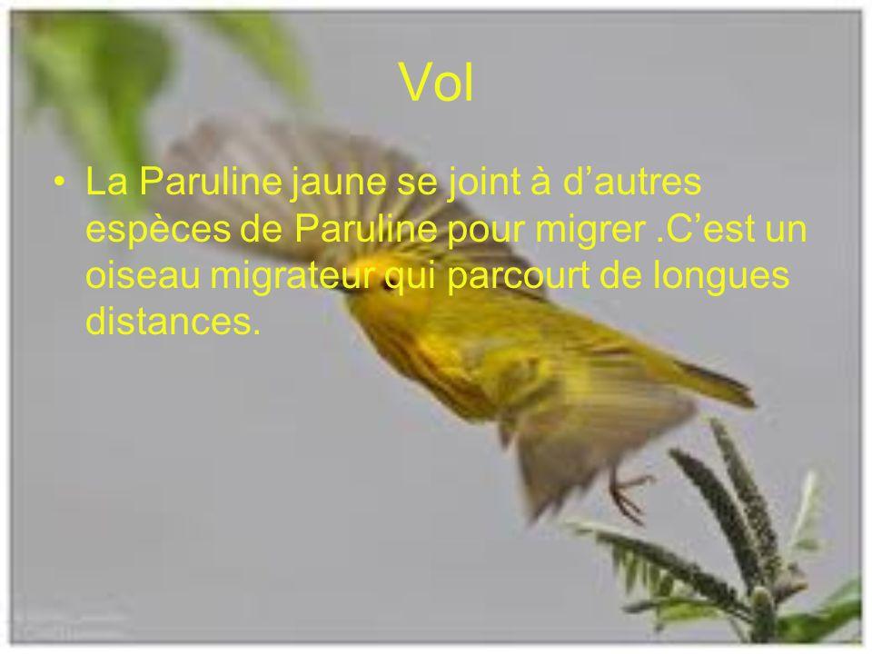 Vol La Paruline jaune se joint à dautres espèces de Paruline pour migrer.Cest un oiseau migrateur qui parcourt de longues distances.
