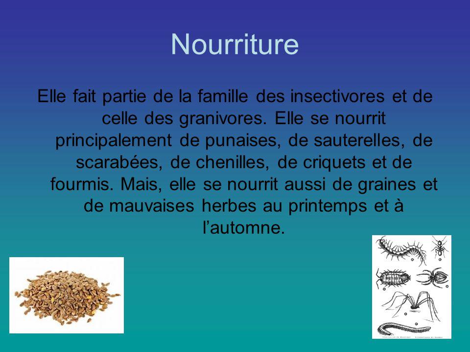 Nourriture Elle fait partie de la famille des insectivores et de celle des granivores.