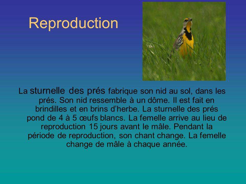 Reproduction La sturnelle des prés fabrique son nid au sol, dans les prés.
