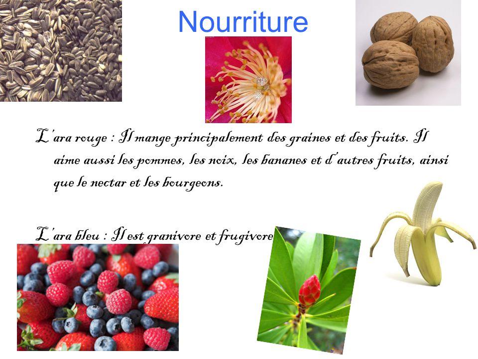 Nourriture Lara rouge : Il mange principalement des graines et des fruits.