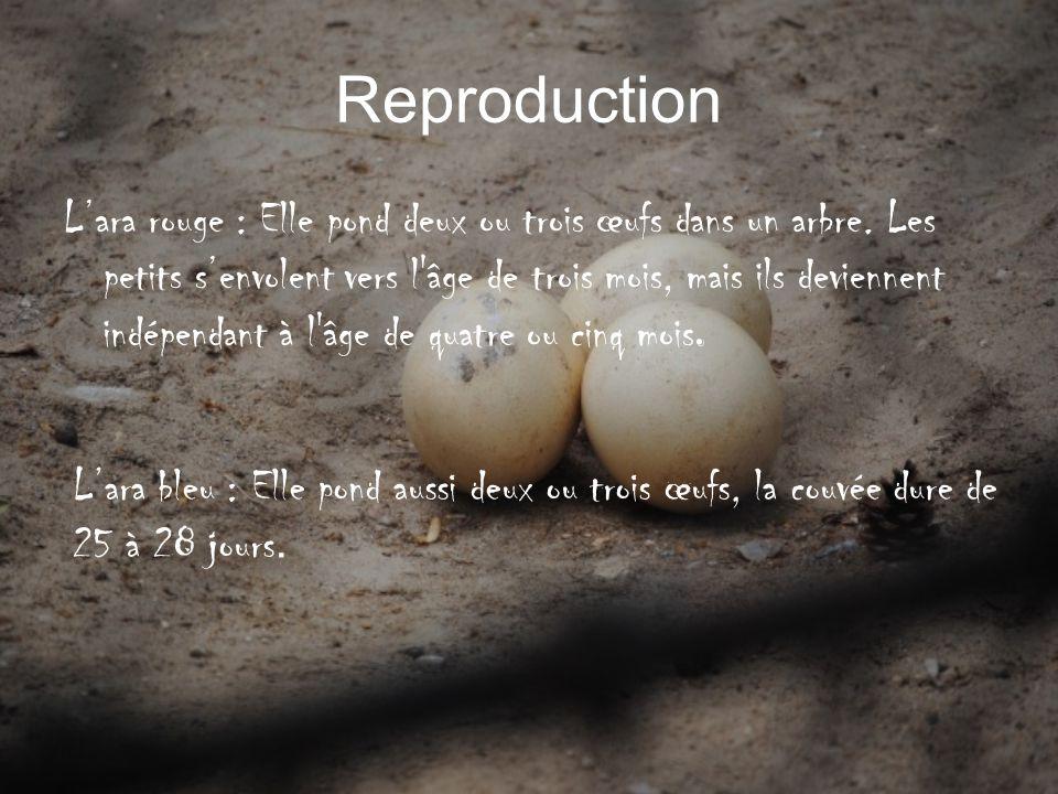 Reproduction Lara rouge : Elle pond deux ou trois œufs dans un arbre. Les petits senvolent vers l'âge de trois mois, mais ils deviennent indépendant à