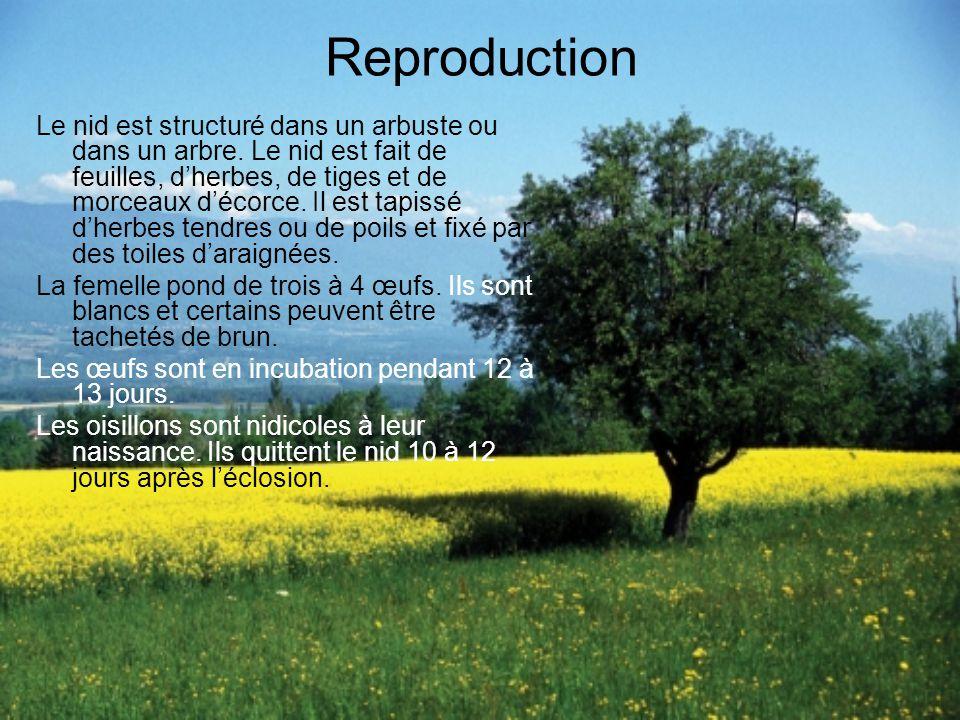 Reproduction Le nid est structuré dans un arbuste ou dans un arbre.