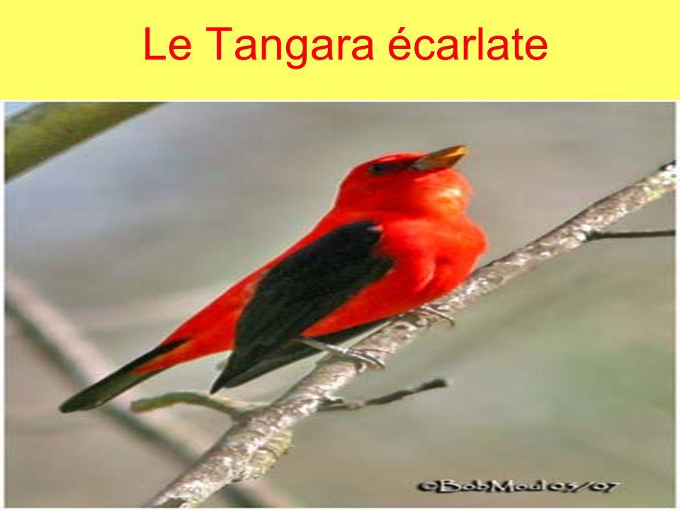 Aspect général Lété, le mâle a les ailes et les rectrices noires avec plumage rouge.